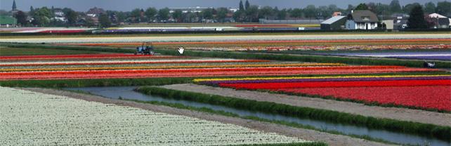 Bühende Tulpenfelder in Keukenhof